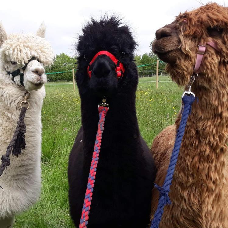 WIN A fantastic Alpaca Walk for a family of five!